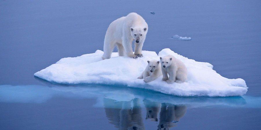 Les ours polaires esp ce menac e esp ces menac es - Animaux pole nord ...