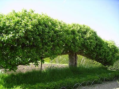 """how to grow """"espalier"""" fruit trees which basically means training trees to grow with horizontal branches."""