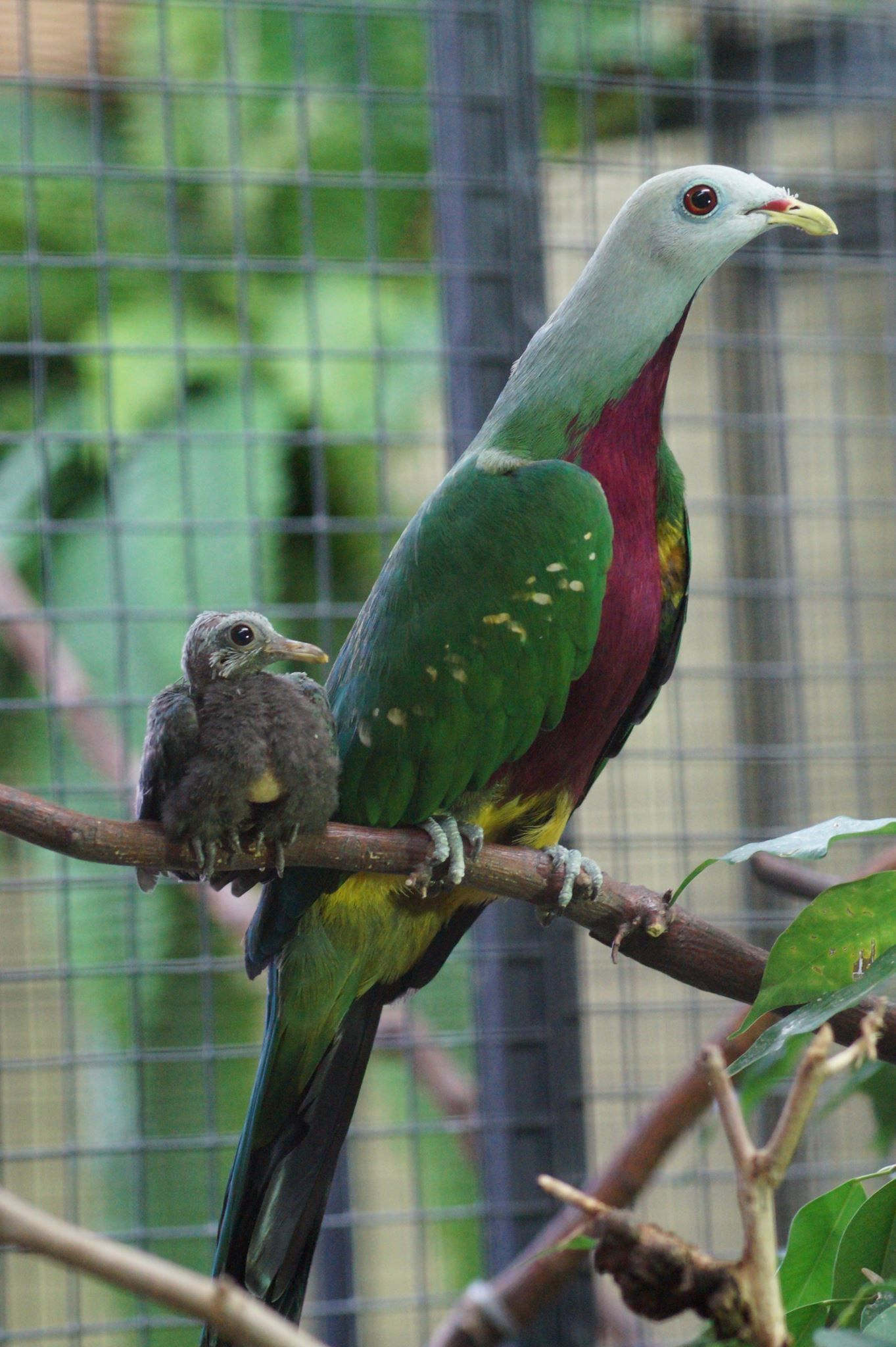 exotic fruit dove and baby