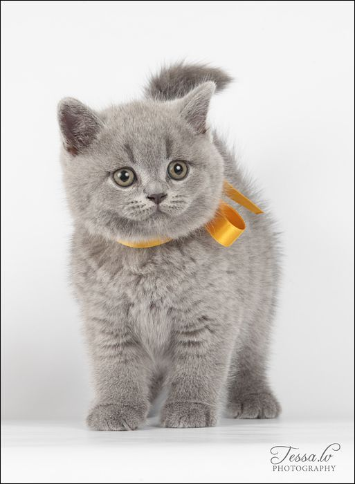 Grey Cats One Wearing A Bowtie