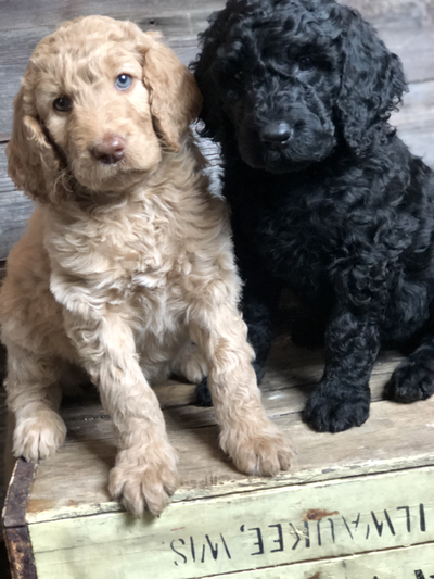 Goldendoodle Puppies Puppies, Goldendoodle puppy