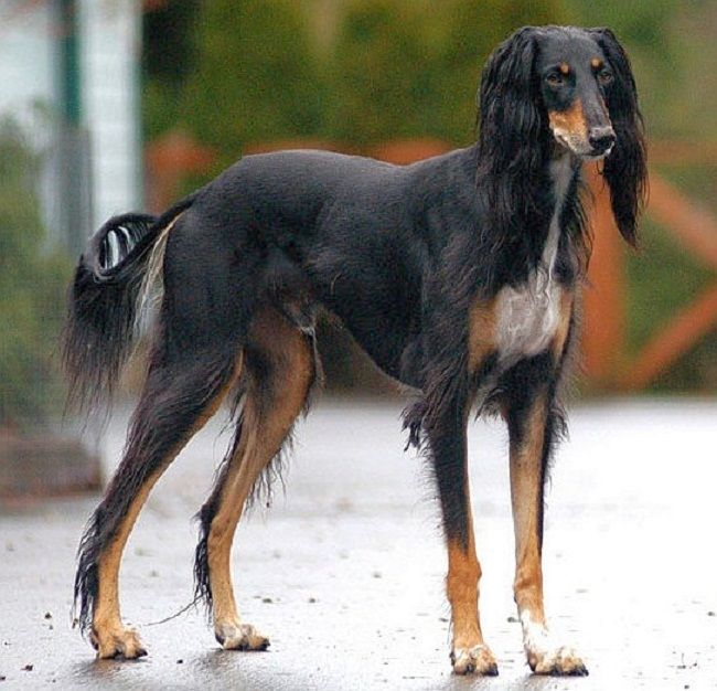 Arabian Saluki Dogs Zoe Fans Blog Dog Breeds Large Dog Breeds