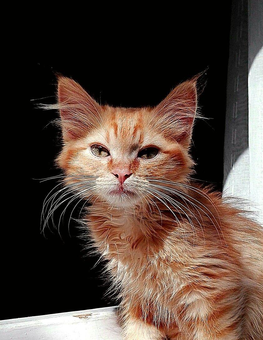 Costruire Lettiera Per Gatti lince gatto | gatti, lince
