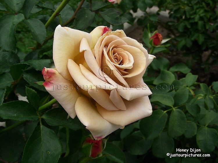 Rose 'Honey Dijon' grandiflora.  Parents: 'stainless steel' hyb tea and 'singin' in the rain' floribunda.