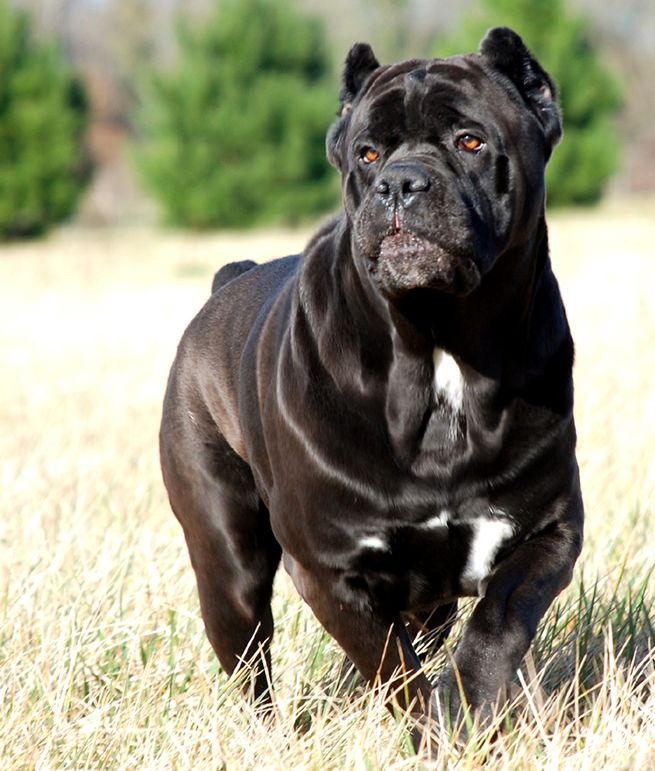 The Cane Corso Is An Italian Breed Of Dog For Years Valued Highly