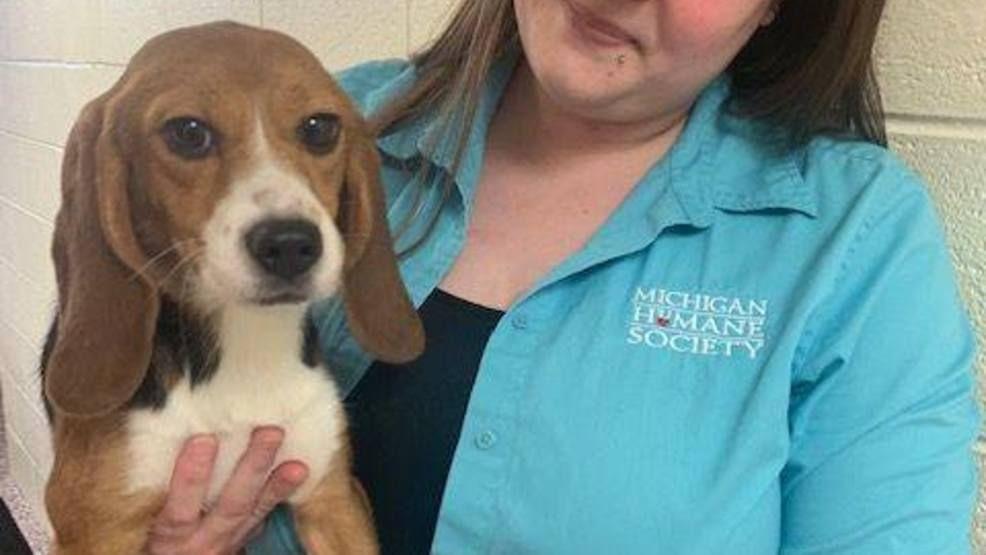 The Application Site Will Close At 8 P M Beaglelover Beaglemasters Justbeagles Beaglemania Beaglepuppy Ilovemybeagle Htt In 2020 Humane Society Beagle Michigan