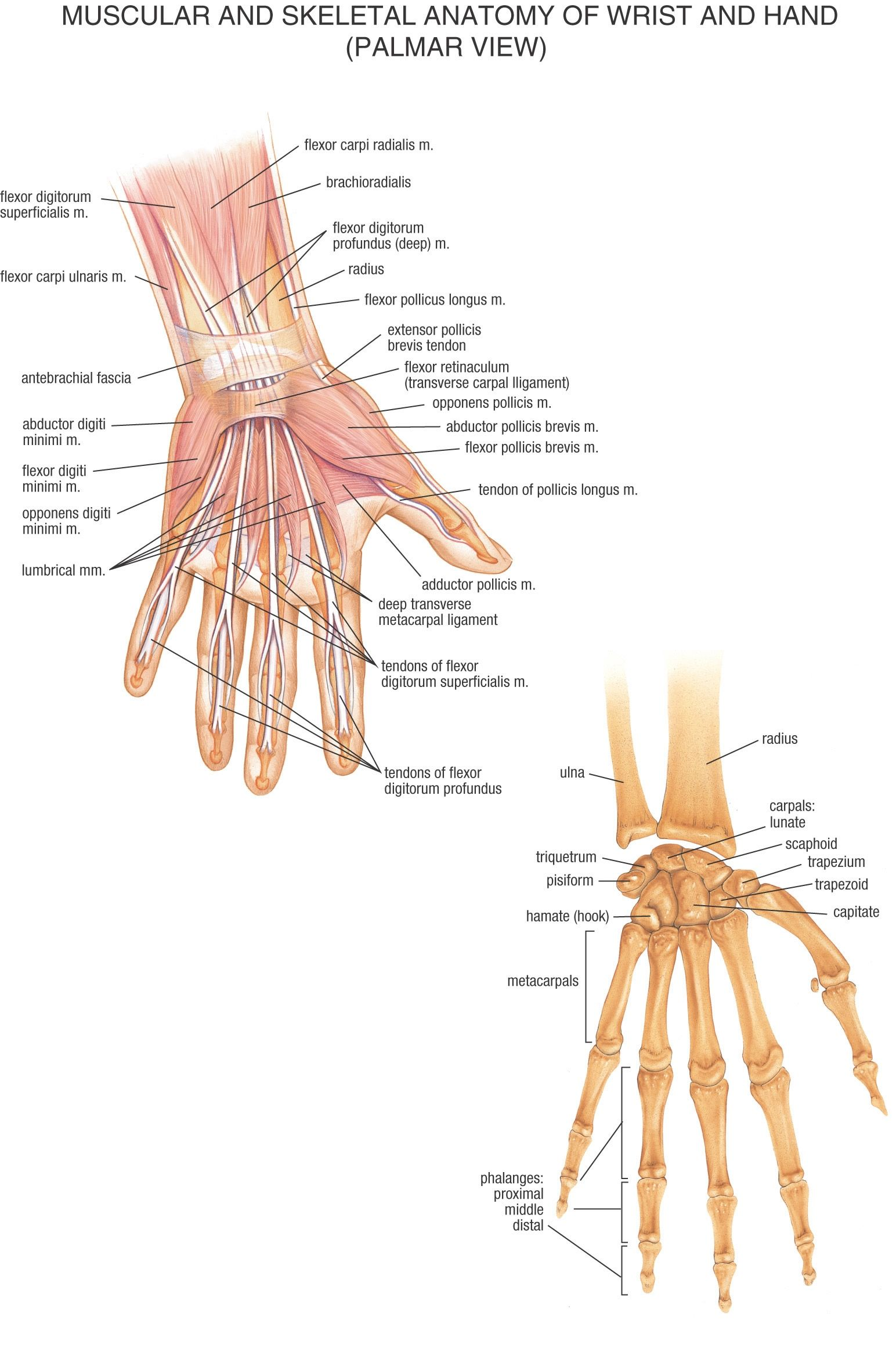 Muscular and Skeletal Anatomy of Wrist and Hand (Palmar View ...