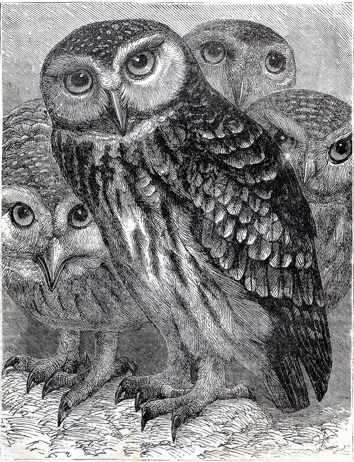 Amazing Illustration Of A Group Of Owls So Many Possibilities Hand Tinting The B Image Or