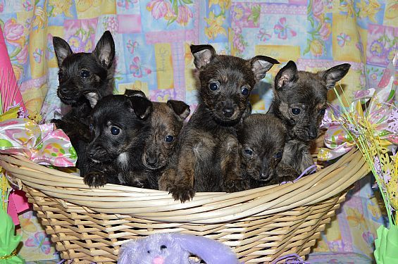 Scotchi Puppies Pet Dog Puppies For Sale In Fultonville Ny A00013 Want Ad Digest Classified Ads Pet Dogs Puppies Pets Pet Dogs