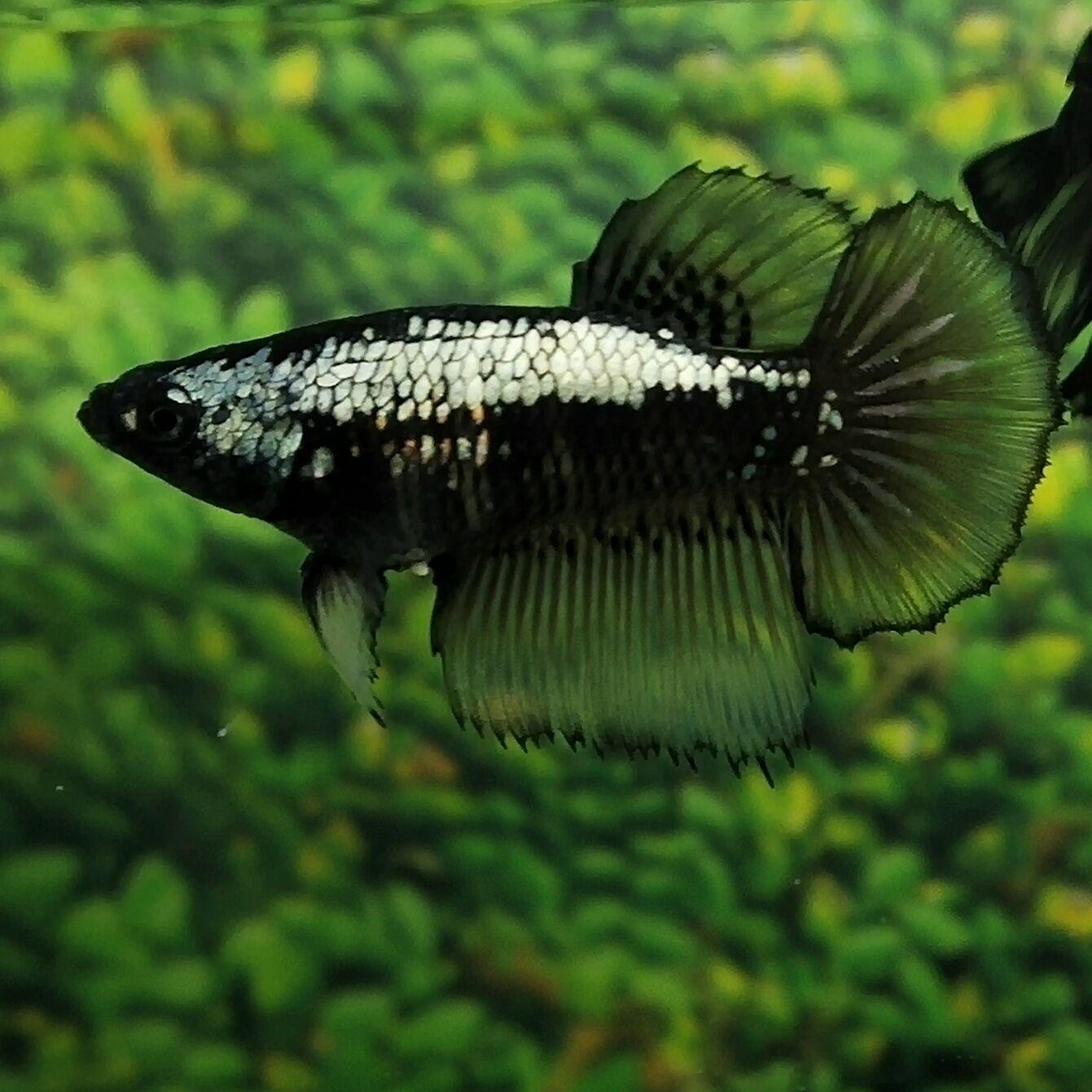 Aquabid Com Item Fwbettashm1584608551 Copper Black Gass Samurai Hm Female M16 Ends Thu Mar 19 2020 04 02 31 Am Cdt Halfmoon Betta Betta Betta Fish