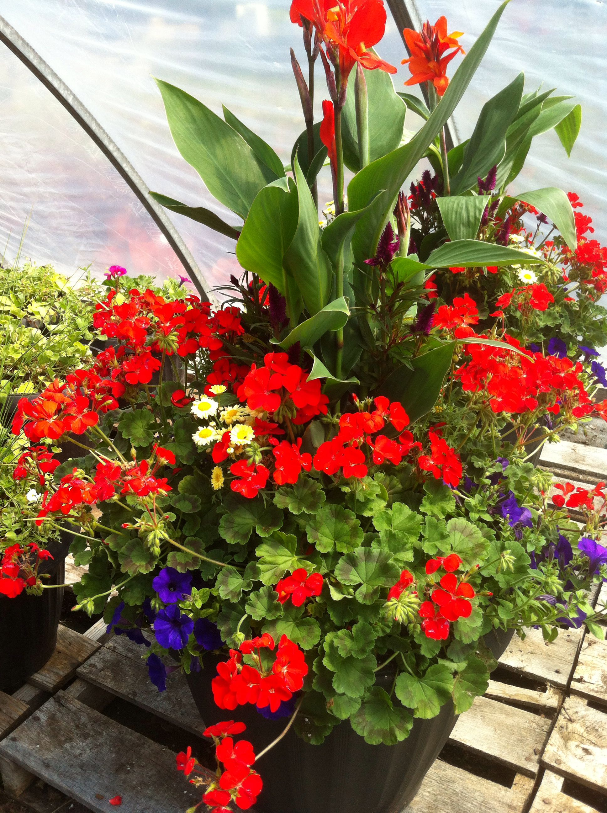 Mixed Container With Canna Lily Celosia Pelargonium Geranium Margerite Daisy And Wave Petunia Create Outdoor Plants Outdoor Planters Tropical Landscaping