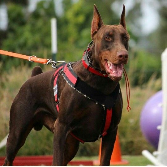 Thor Red Doberman Notyouraverageprettydog Gorgeous With Images