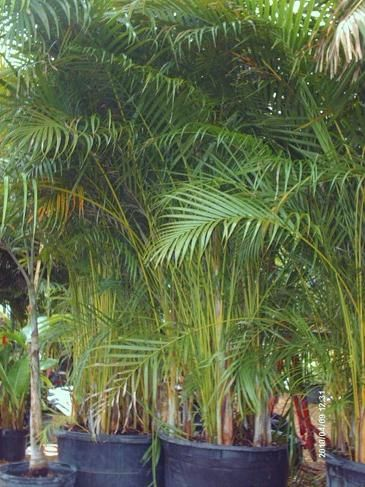 Wonderful Privacy Creating Areca Palms Or Messy Overgrown