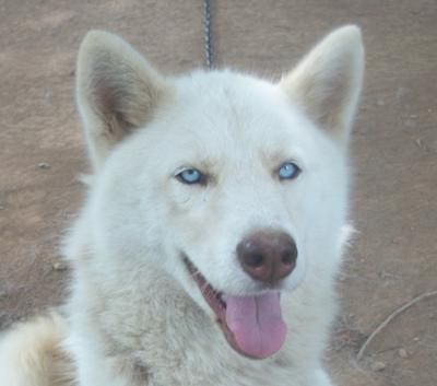 Baby White Siberian Husky Puppies With Blue Eyes Husky With