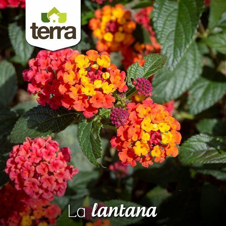Existen Numerosas Variedades De Lantana Según El Color De Sus Flores Rojas Amarillas Rojas Y Amarillas Simultáneamente Moradas A Lantana Plants Landscape