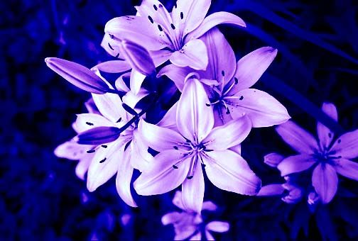 d411101b929e Purple Tiger Lily Flower | Purple Tiger Lily's by xxemptysoulxx ...