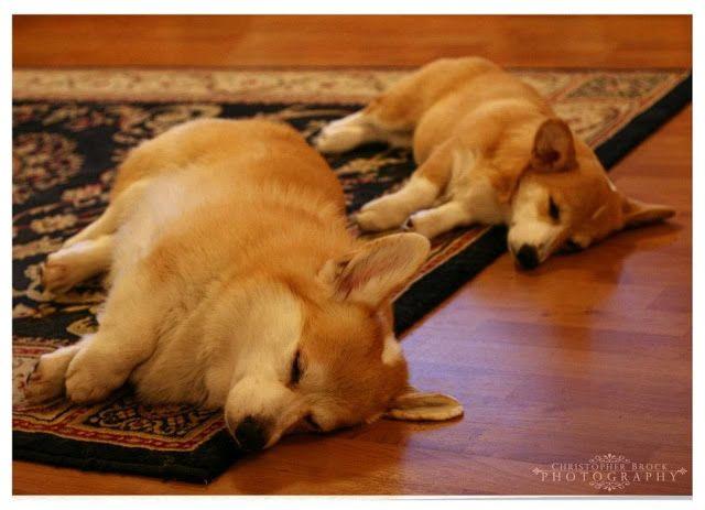 The Daily Corgi Bob Corgi Lola And Martha Of Massachusetts Corgi Corgi Sleeping Corgi Dog