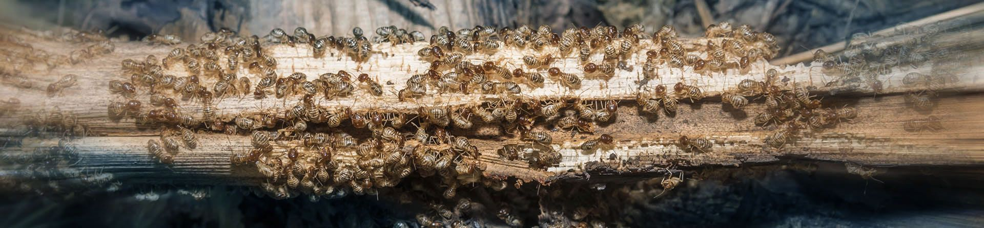 Getting rid of termites yourself and doing so naturally
