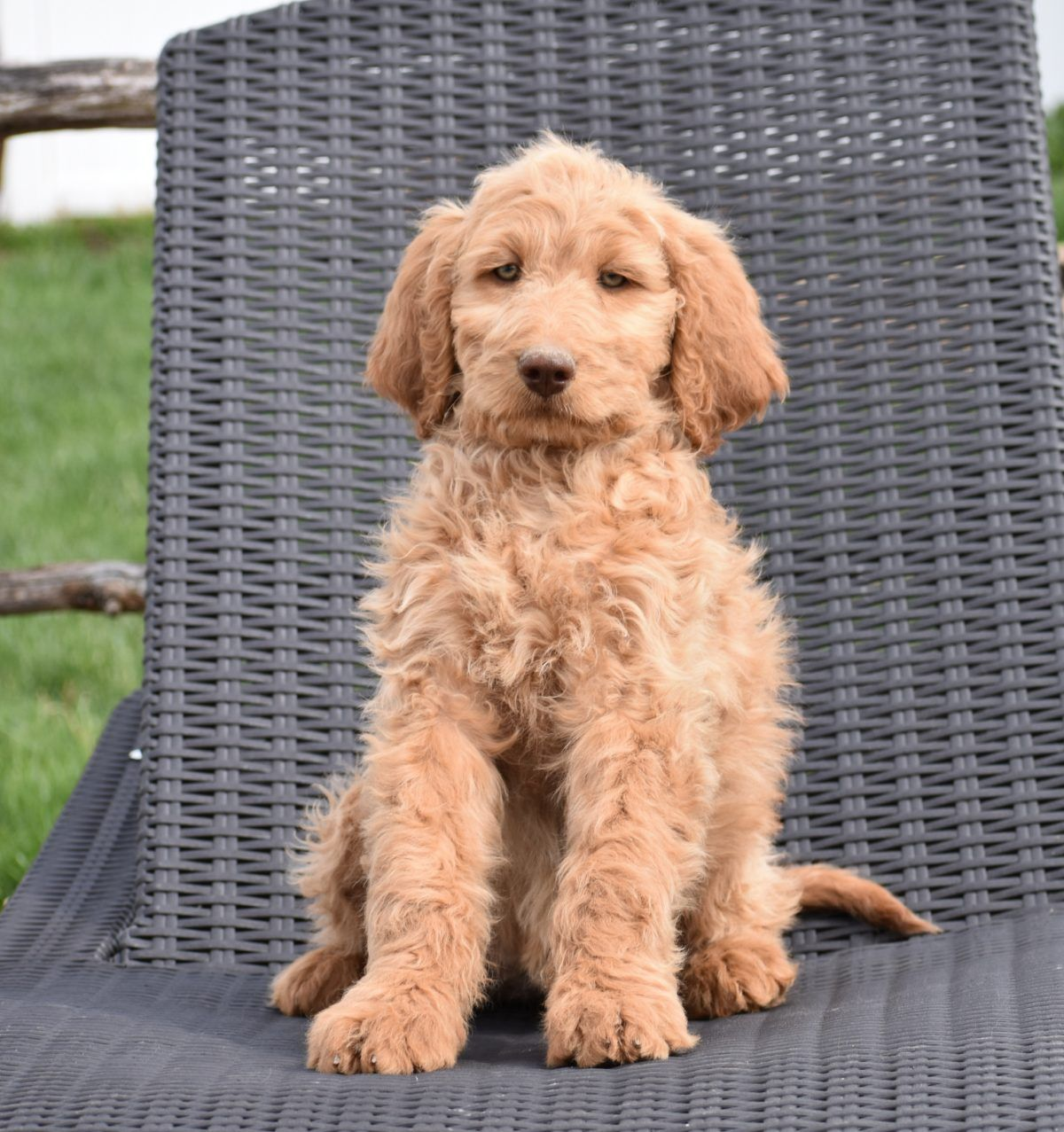 Halle F1B Standard Female Goldendoodle puppy for sale in