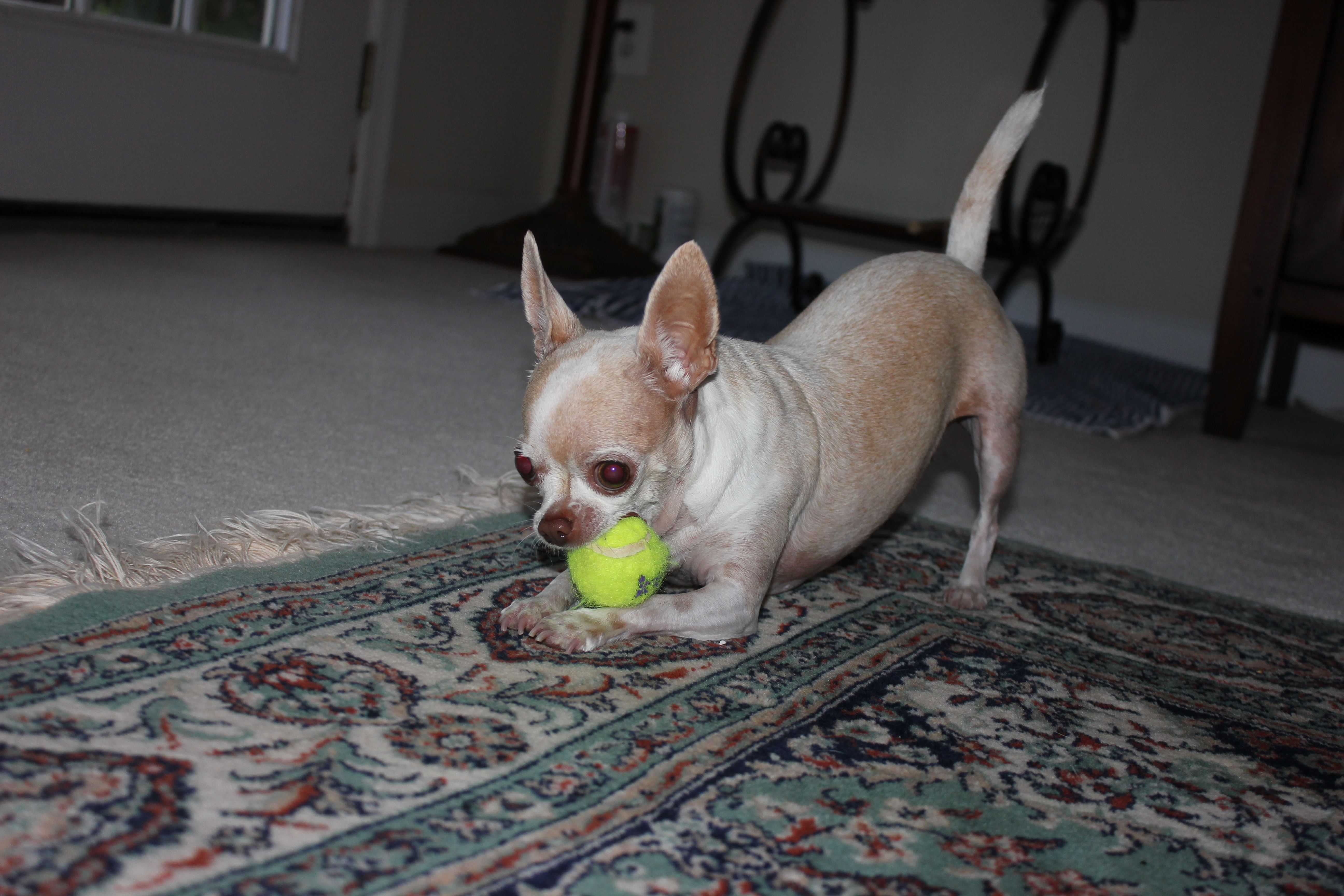 Pin by Jacqueline Llewellyn on Chihuahua   Pinterest   Animal