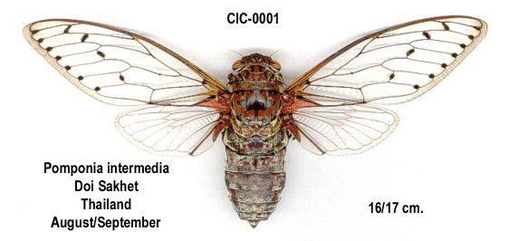 Megapomponia Intermedia Insectos Entomologia