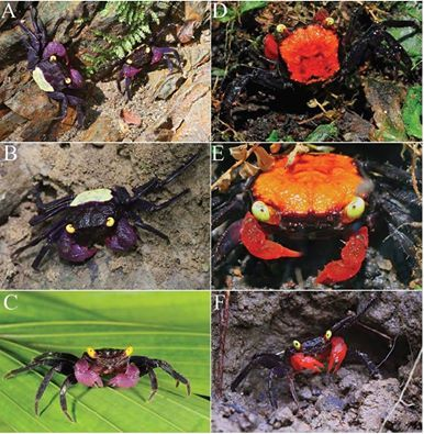 Another vampire crabs. Only Indonesia