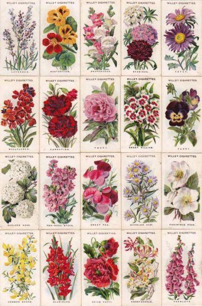 Old English Garden Flowers British Botanical Drawings Botanical Art English Flowers