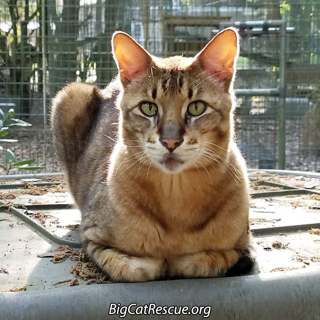 King Tut The Savannah Cat Has An Afternoon Appointment With Dr J Bcr Mentioned He S Not Been Eating Well And Dr Justi Cat Has Fleas Cat In Heat Big House Cats