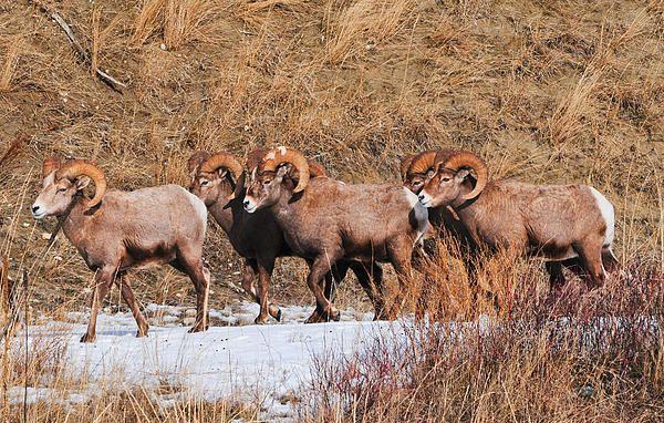 Big Horn Sheep winter migration