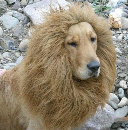 Pet Lion Costume For Sale In San Antonio Tx Cute Animals Pet