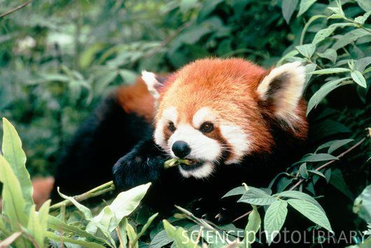 """The red panda is specialized as a bamboo feeder with strong, curved and sharp semi-retractile claws standing inward for grasping of narrow tree branches, leaves and fruit."" - Wikipedia"