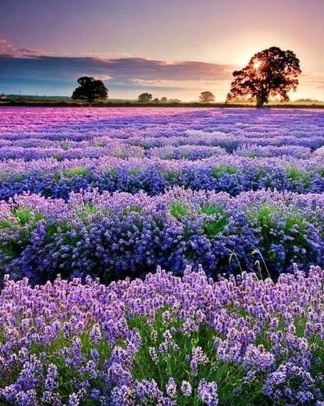 Lavender fields in Alentejo #Portugal | Dreamcatcher | Pinterest ...