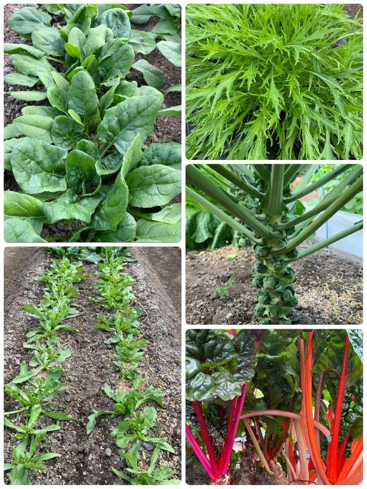 野菜の投稿画像 By アラパンさん 収穫物とお野菜と家庭菜園とやさいの