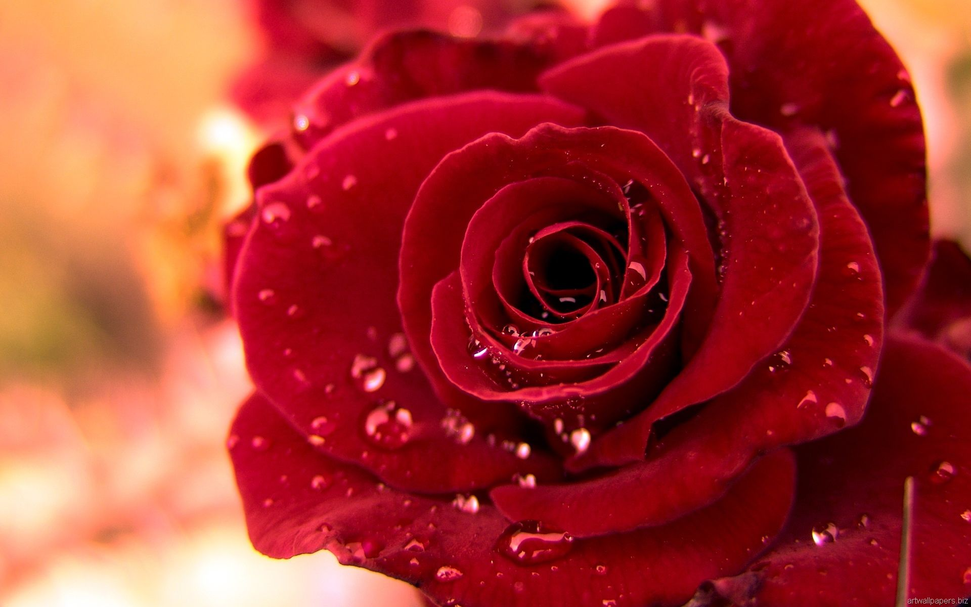The Rose A Poem Rose Flower Pictures Beautiful Rose Flowers Red Rose Flower