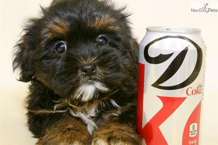 Meet Michelle A Cute Yorkiepoo Yorkie Poo Puppy For Sale For