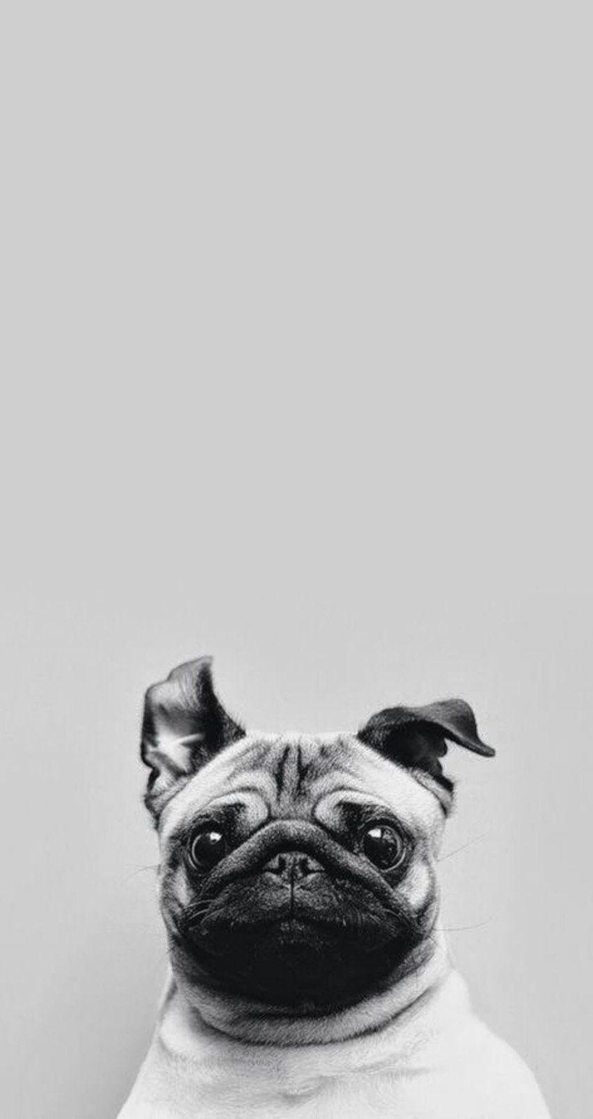 Perro Asustado Fondos Para Iphone Fondos Whatsapp Animal Domestico Perros Pug