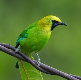 Foto Burung Cucak Hijau Pet Birds Animals Pretty Birds