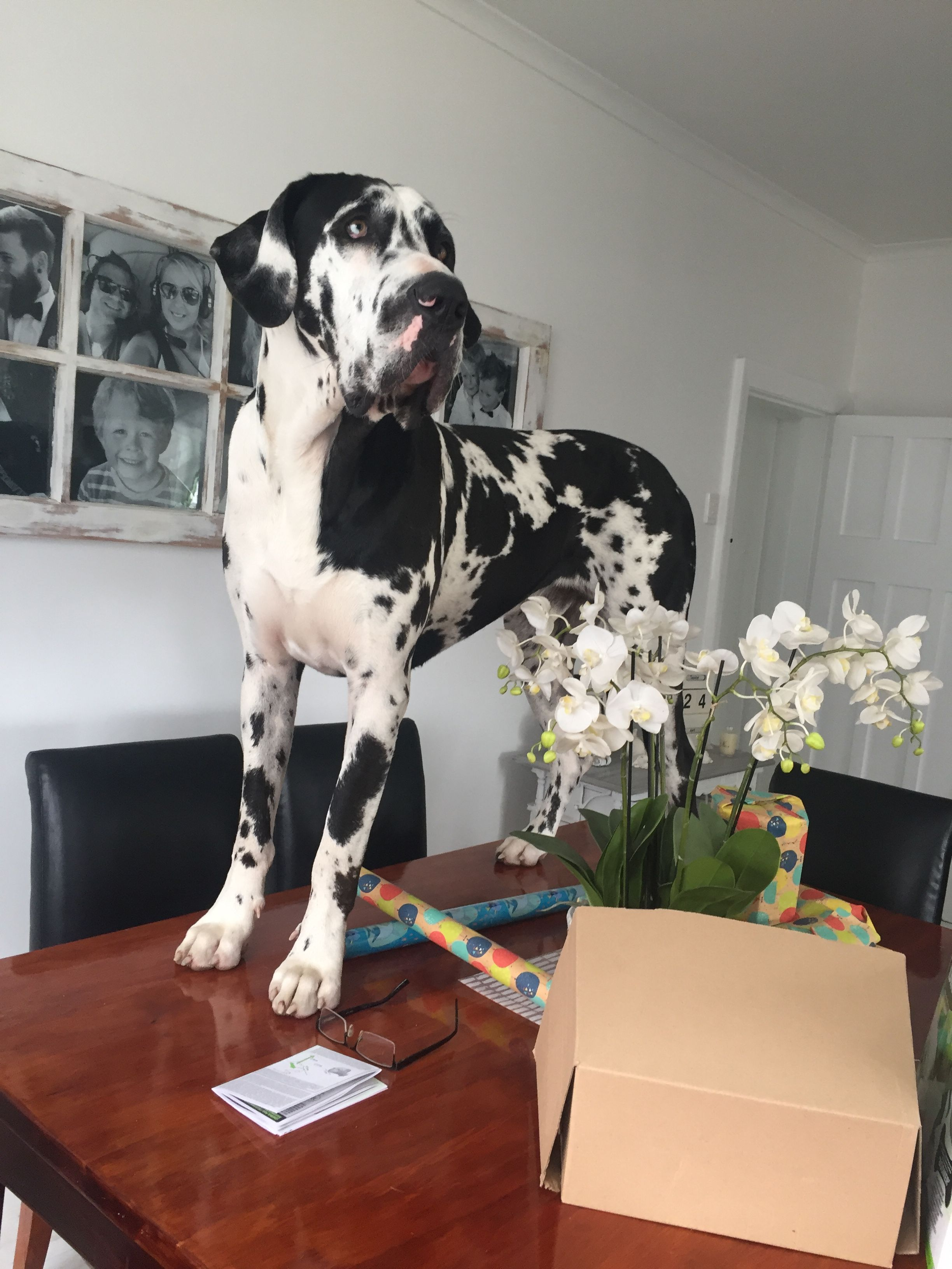 My Dane Has Done This A Time Or Two Great Dane Puppy Cute Dogs