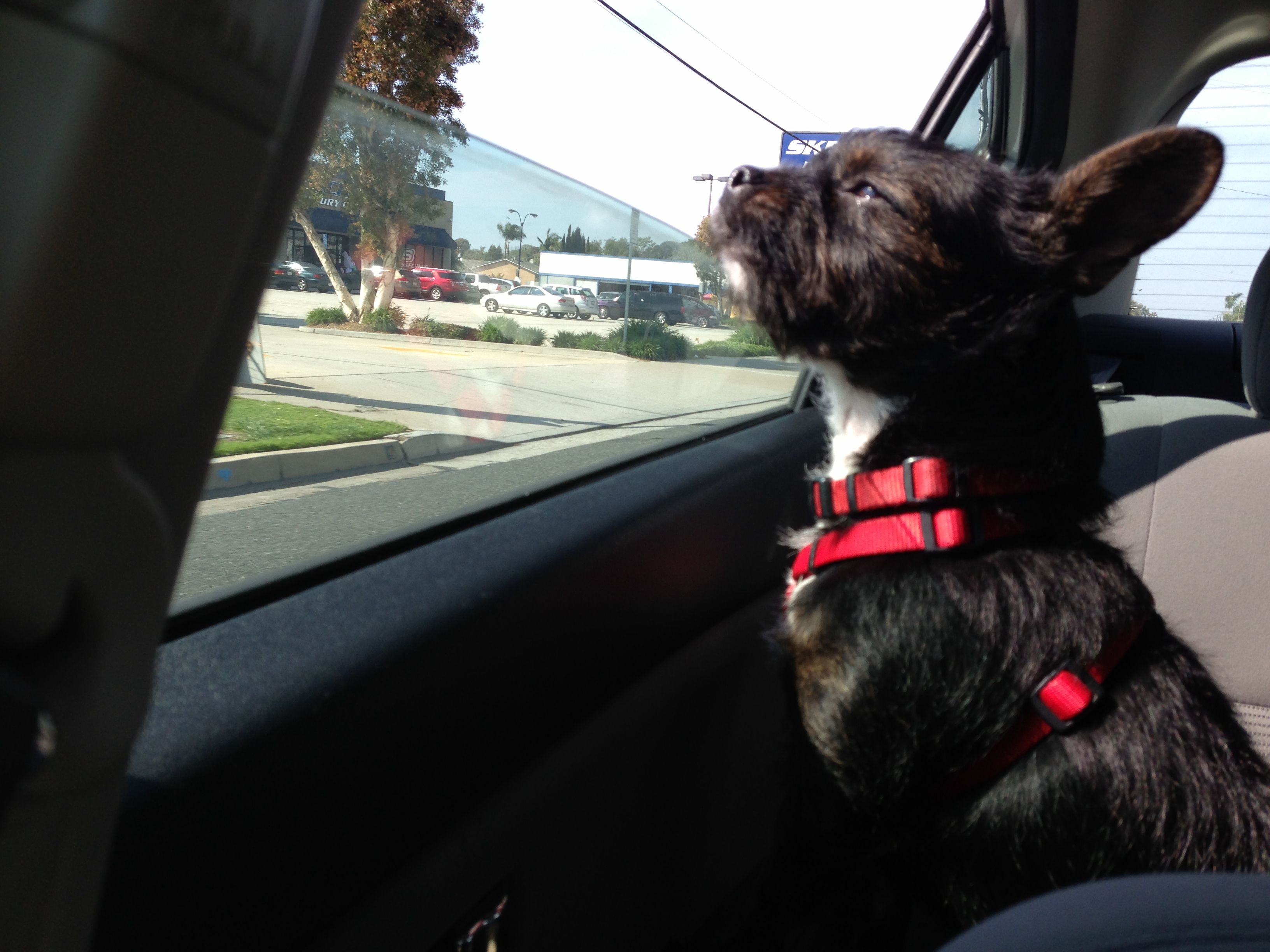 Boston terrier yorkie mix. Love that goofy girl | Because Animals ...