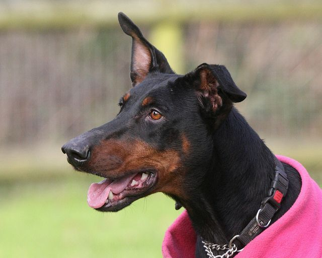 Is Your Dobermann Pinscher Driving You Crazy? Within Hours ... - photo#43