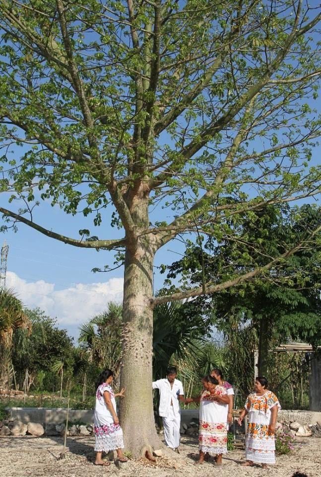 Ya'ax Ché el arbol sagrado, bajo su sombra descansan los seres humanos en su camino al paraíso  Vía @MayaKaanTravel