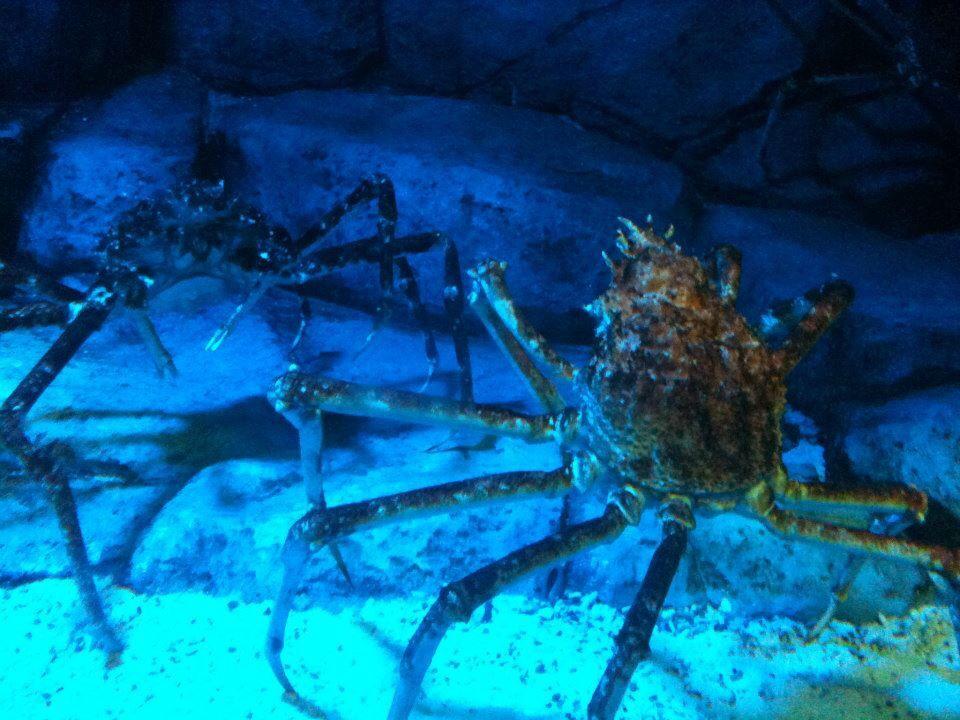 Giant Crabs - Sea Aquarium SINGAPORE