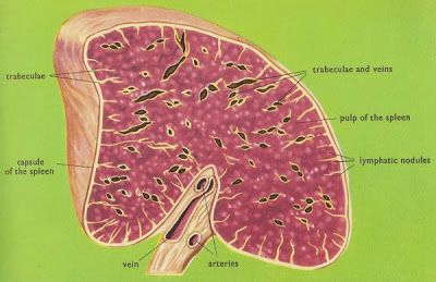 Human anatomy and physiology diagrams spleen cross section diagram human anatomy and physiology diagrams spleen cross section diagram ccuart Gallery