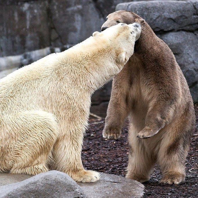 أول لقاء تزاوج بين دبين قطبيين في حديقة حيوانات في العاصمة الدنماركية كوبنهاغين حيوانات دب طبيعة Photo Ole Jensen Gett Polar Bear Instagram Instagram Posts