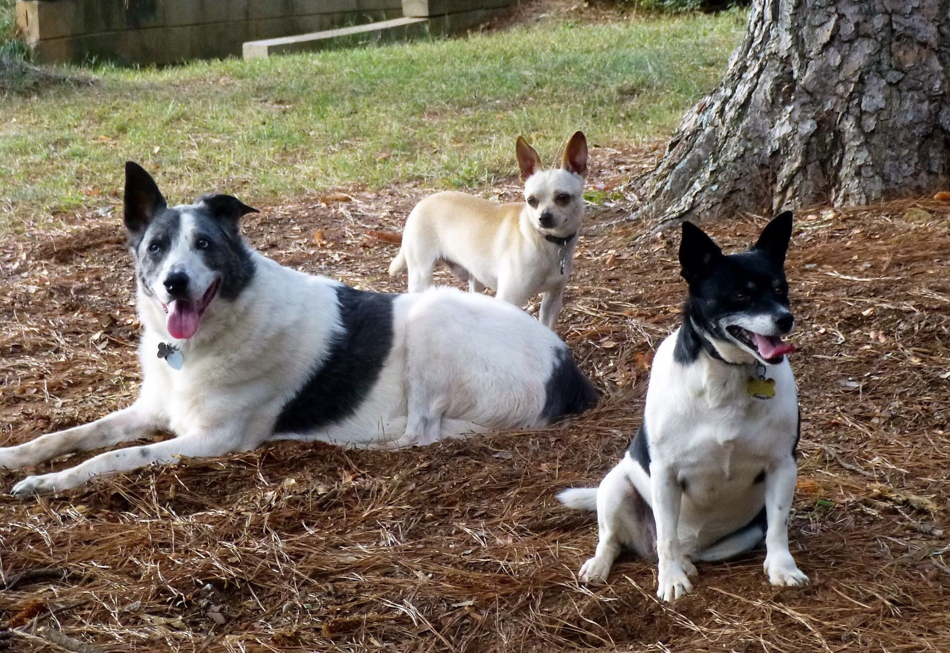My 3 Dogs Chihuahua Rat Terrier And Aussie Greyhound Mix Rat