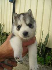 Pin On Huskies Pups