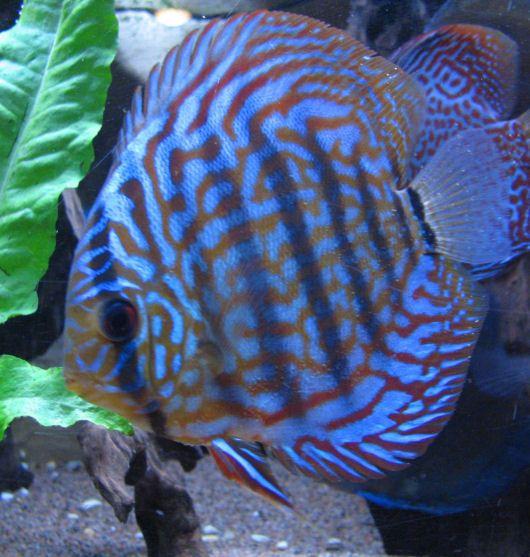 Favorite Marine Fish Reef Central Online Community Discus Fish Marine Fish Fish