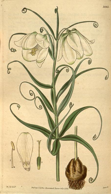 v.58 (1831) - Curtis's botanical magazine. Fritillaria Leucantha. White-Flowered Fritillary
