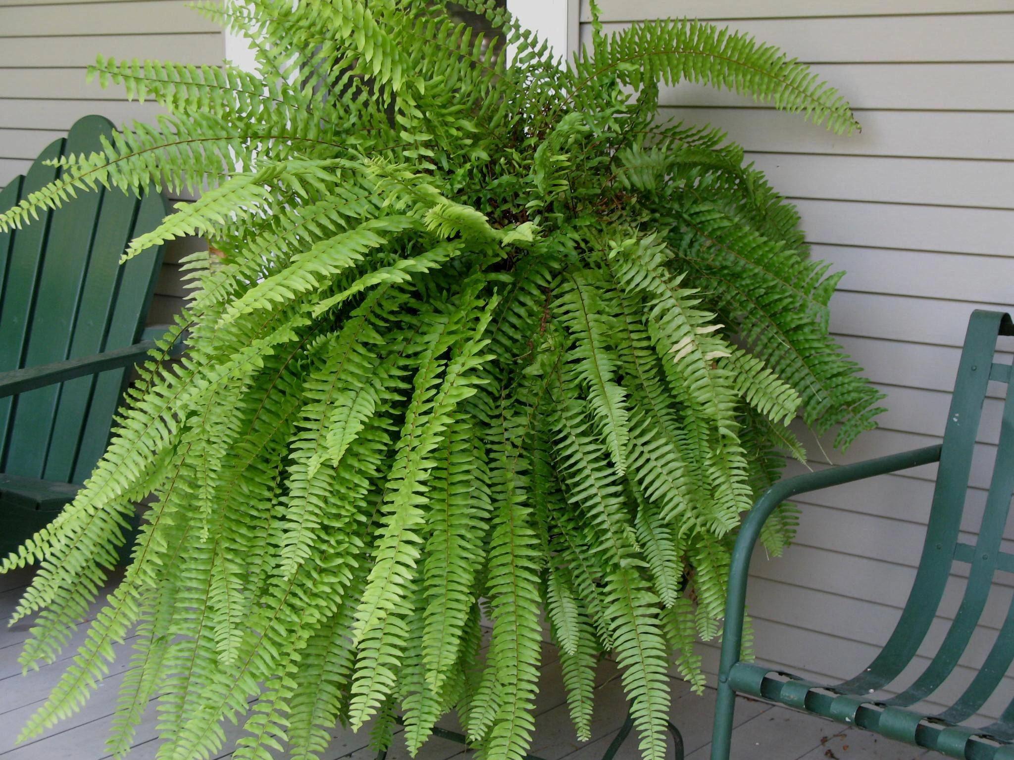 The Boston fern, Nephrolepis exalta bostoniensis cat