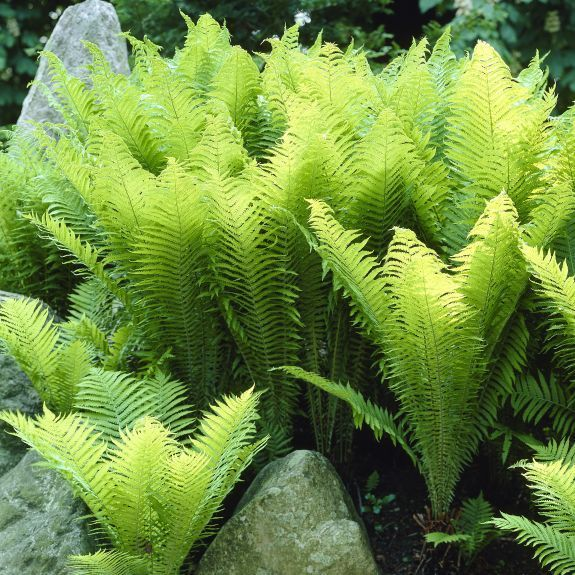 Shade Loving Fern Ostrich Is An Elegant Ground Cover For Moist Areas Great Native Plant Grows Up To 8 Feet Tall Shade Garden Plants Plants Shade Garden
